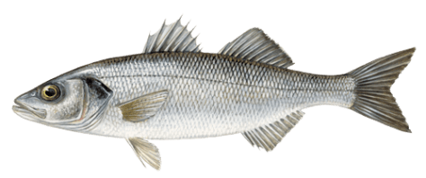 Bass_European sea bass-dicentrarchus_labrax_sw