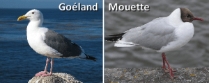 mouette-goeland