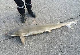 Requin ha