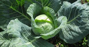 Harvesting Cabbages and Cooking with the Family