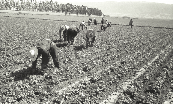 Bracero workers cultivate a field in Salinas, California.