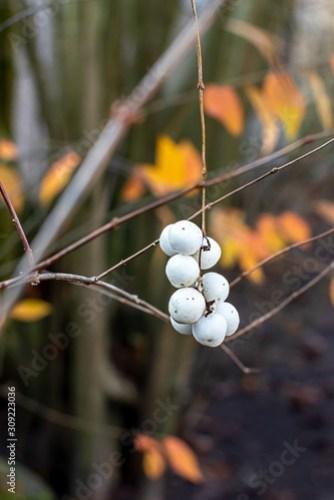 Gewöhnliche Schneebeeren als Kontrast vor orangen Blättern
