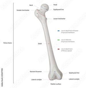 Infographic diagram of human femur bone or leg bone anatomy system anterior view 3D Human