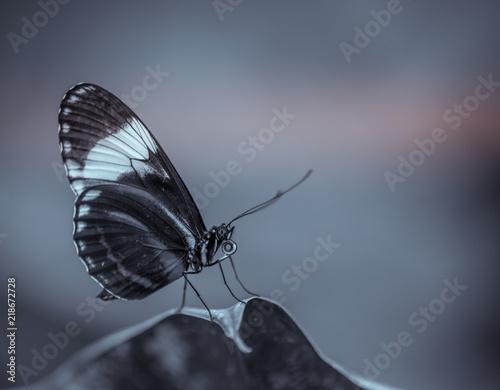 Insece Seul Papillon Noir Et Blanc Vue De Profil Pose Sur Une Feuille Stock Photo Adobe Stock