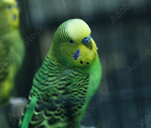 Rosy Faced Lovebird Parrot In A Cage Birds Inseparable Budgerigar On The Cage Budgie Parakeet In Birdcage Parrot