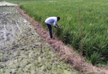 Photo of Rice Production in Ghana: Bottlenecks and Scope for Improvements