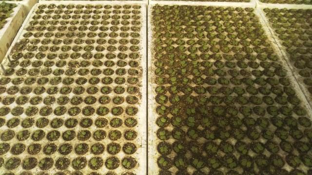 有機苗土と慣行苗土