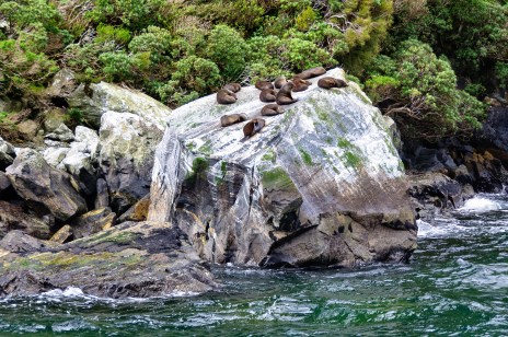 Fur seal colony resting on a rock in the Milford Sound-lkonya-shutterstock_593010023