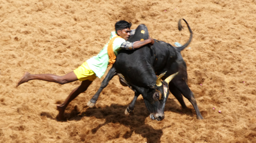 Chico agarrando al toro 2