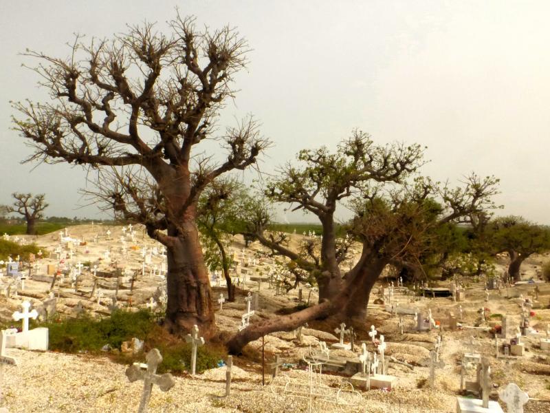 Baobabs en el Cementerio de Joal Fadiouth