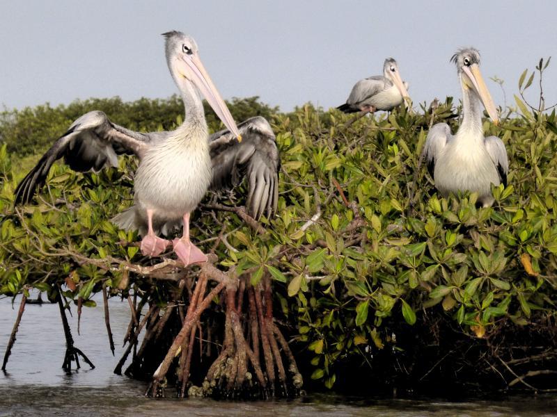 Pelícanos en el delta del Saloum