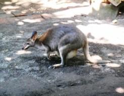 wallaby @bali zoo