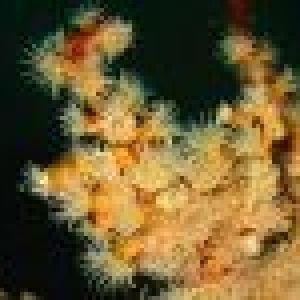 colonie-anemones