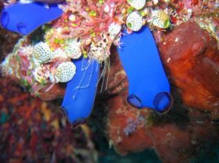 phil 564 ascidies bleues 800