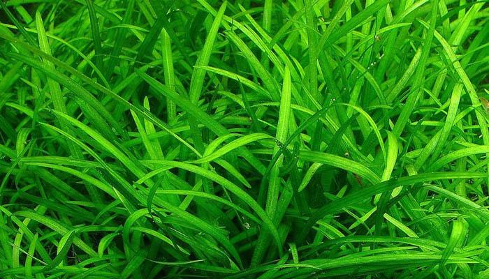 Стрелолист шиловидный (Сагиттария) (Sagittaria subulata var. pusilla)