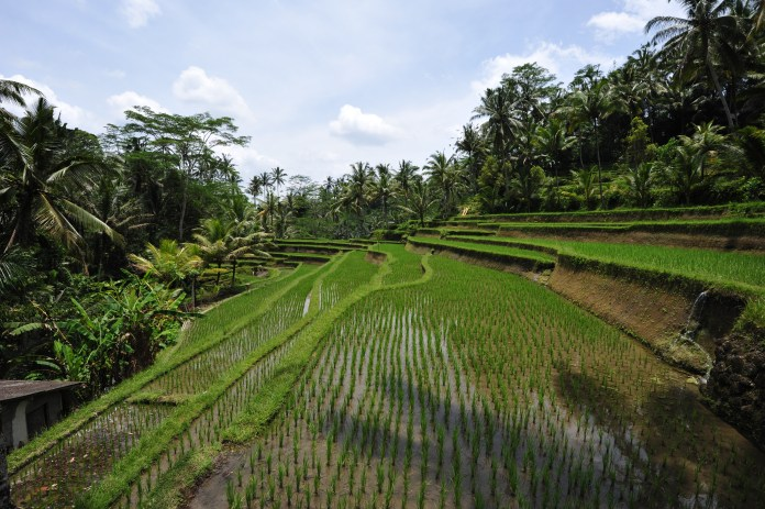 Terrace Rice Field in Indonesia