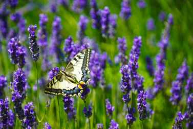close up photography of butterfly perched on lavender flower