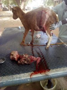 Goat gives birth to strange kid with a human-shaped skull in Argungu (photos)