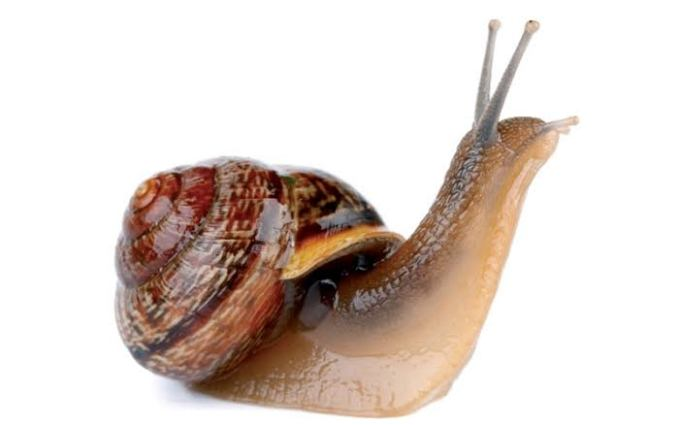 Snail fluid solution for asthma attacks