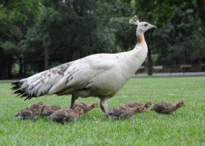 Peahen and guineafowl chicks