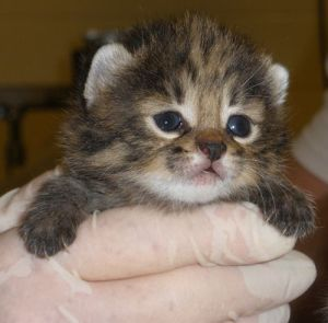 african black-footed kitten