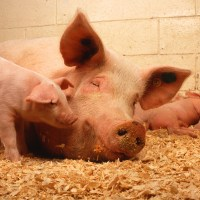 Sow and five piglets