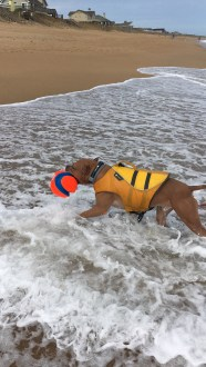 Safe in his canine life vest, Beans plays fetch in the waves.