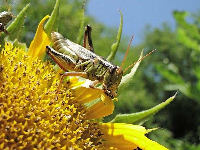 grasshopper-1081009_960_720