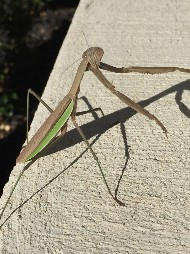 Designed For Prayer The Pause Of A Praying Mantis A Scriptured Life