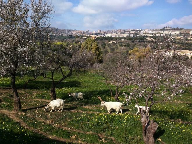 cabras-sicilianas-agrigento