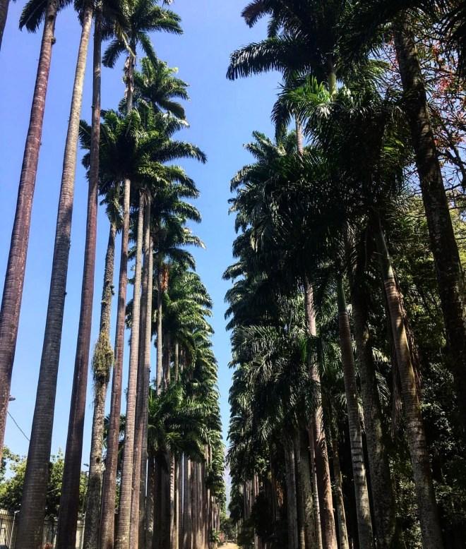 palmeiras imperiais jardim botanico rio