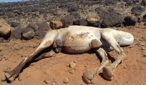 Some of the camels that died had just calved and the community fears the newborns will now starve