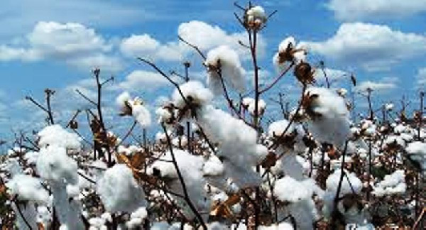 Cotton File photo