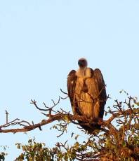 Vulture watching