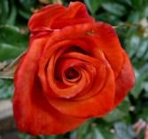 rose orange gay 2