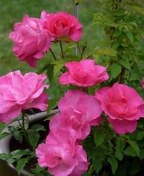 rose pink gay's crop