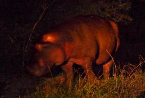 hippo night