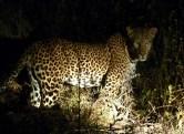 leopard night 1