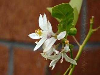 mum's lemon tree flower