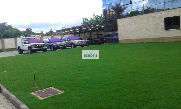 Arabic lawn grass