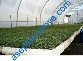 Eucalyptus grandis seedlings in Kenya