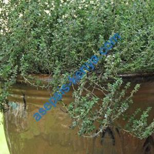 Thyme Evergreen Herbs