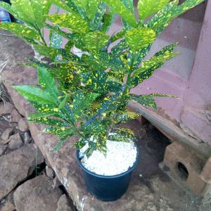 Croton-petra