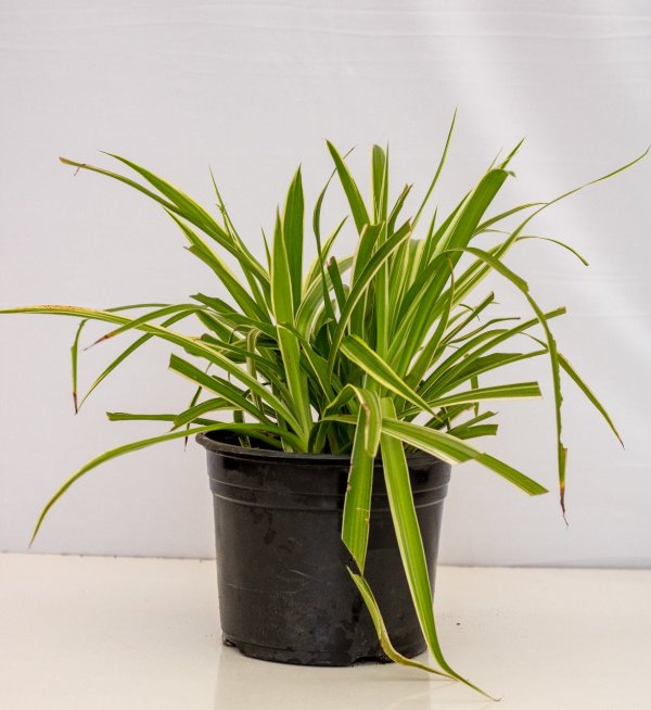 Spider Plant is a grass-like flowering plant