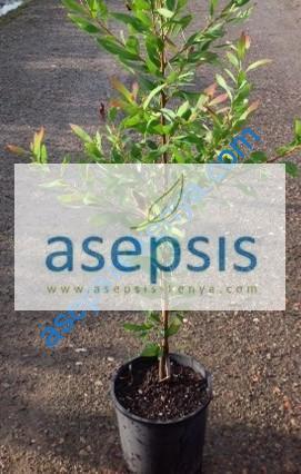 Hakea Salicifolia Hedge plants