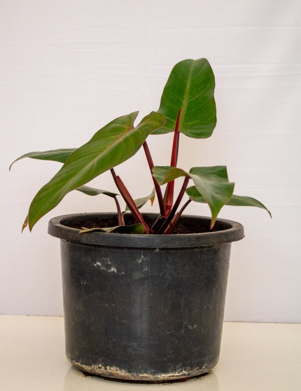 Red philodendron is an indoor plant.