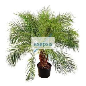 Phoenix Roebelenii [pygmy date ] palm