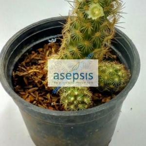 Yellow Tower Cactus [Parodia Leninghausii] Plant