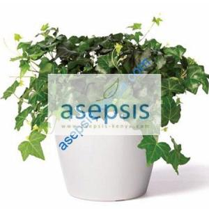 English ivy [Hedera Helix] plant