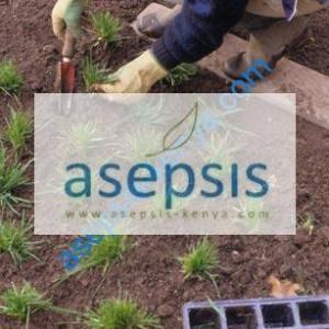 Arabic grass plugs[seedlings]
